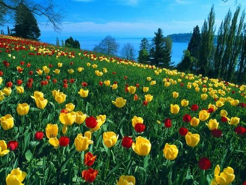 Yellow cây uất kim hương, tulip