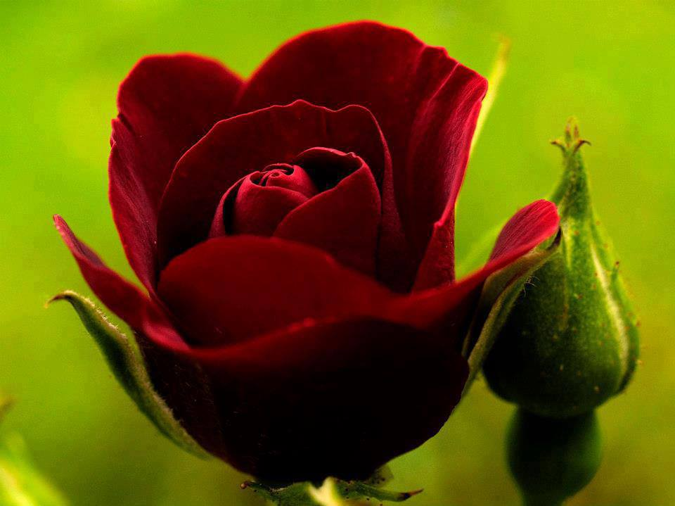 Flowers Images Beautiful Red Rose Hd Wallpaper And Background Photos