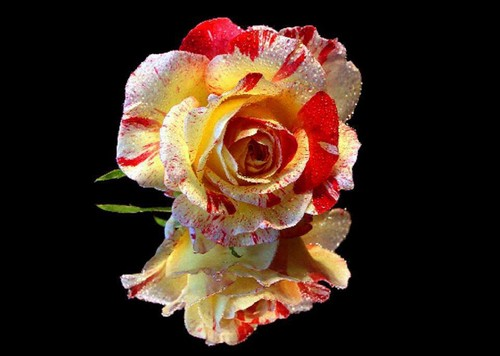 beautiful rose