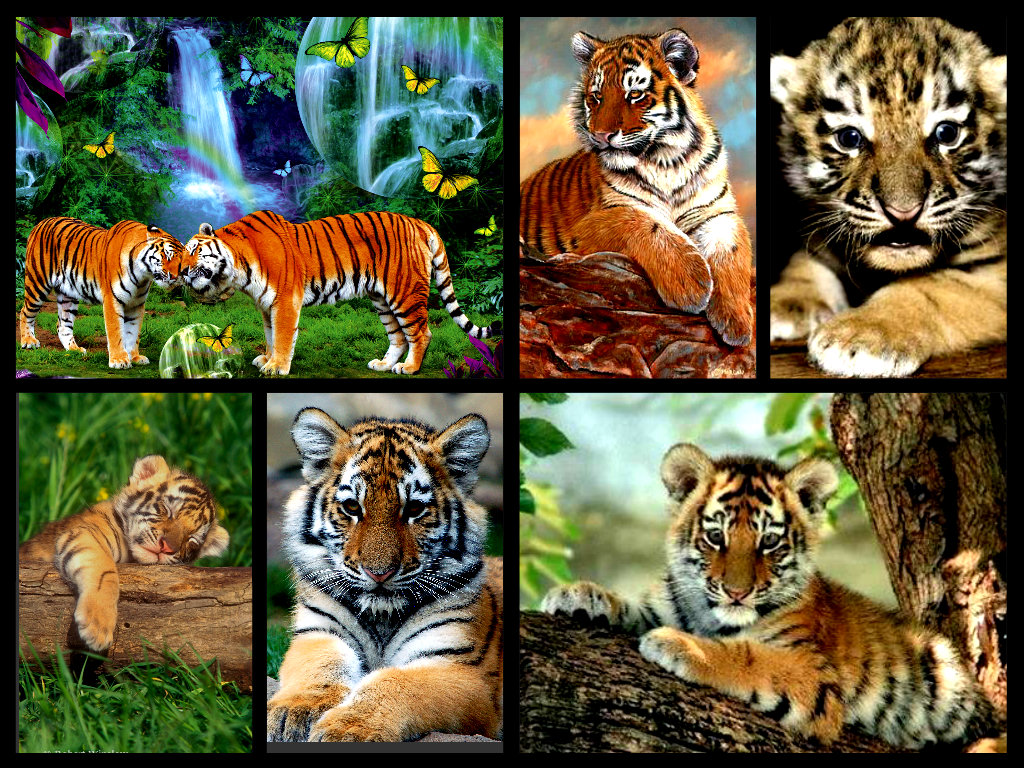 Tigerclan images cute tiger cubs collage hd wallpaper and background tigerclan images cute tiger cubs collage hd wallpaper and background photos thecheapjerseys Image collections