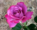 gorgeous pink rose - flowers photo