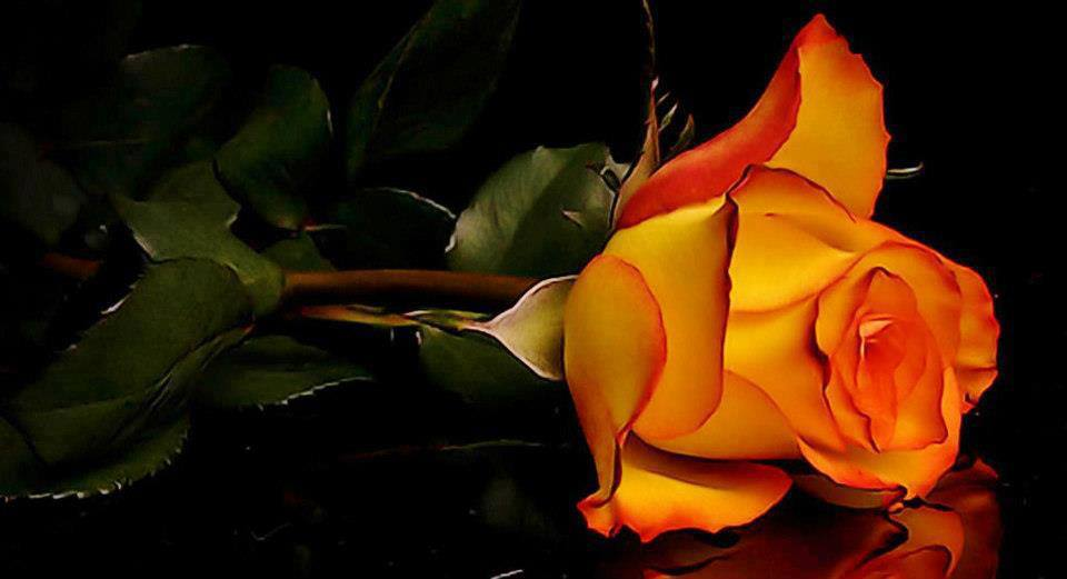 Flowers Images Orange Rose Hd Wallpaper And Background Photos 34561098