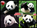 panda bear luv collage