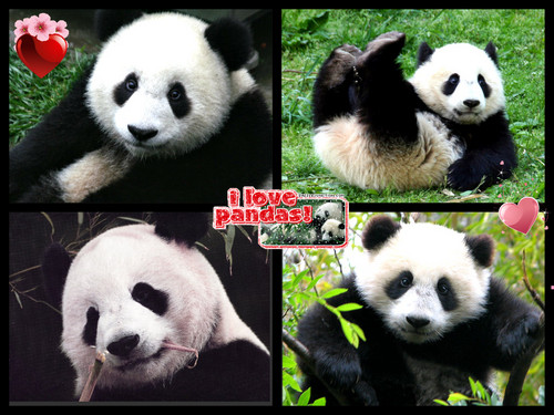 panda ours luv collage