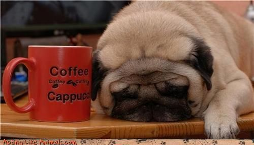 pug dog who Lost his caffeine high