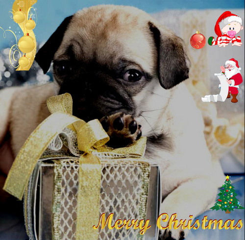 pug with a CHristmas present for wewe