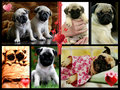 pugs are so cute collage