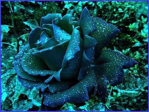 rained blue rose