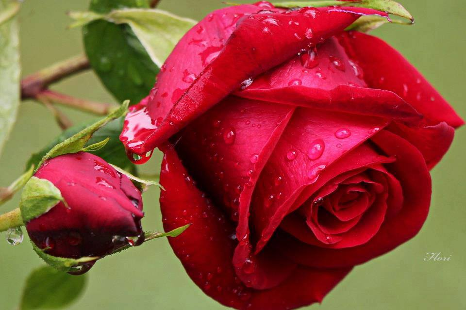 Flowers Images Rained Red Rose Hd Wallpaper And Background Photos