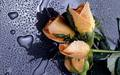 orange rained rose - flowers wallpaper
