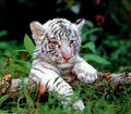 white tiger cubs - white-tiger-cubs photo