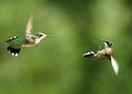 """Dance"" - hummingbirds photo"