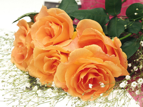 Roses wallpaper with a begonia, a rose, and a camellia entitled Awesome Orange Roses