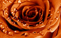 Awesome Orange Roses - roses wallpaper