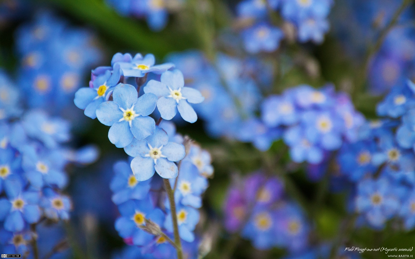 Blue Images Beautiful Blue Forget Me Not Flower Hd Wallpaper And