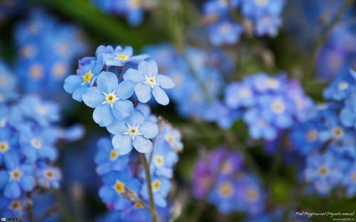 Beautiful Blue Forget-Me-Not 꽃