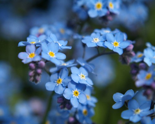 Beautiful Blue Forget-Me-Not 花