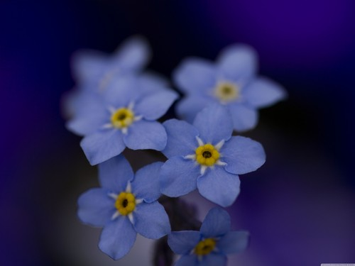 Beautiful Blue Forget-Me-Not цветок