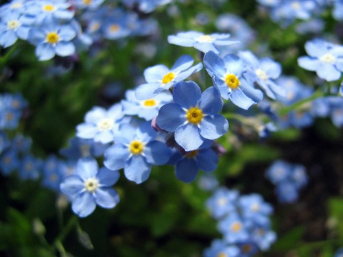 Beautiful Blue Forget-Me-Not bunga