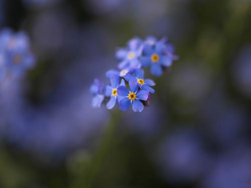 Beautiful Blue Forget-Me-Not maua, ua