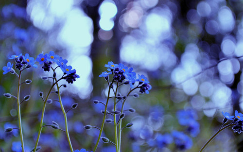 Beautiful Blue Forget-Me-Not ফুল