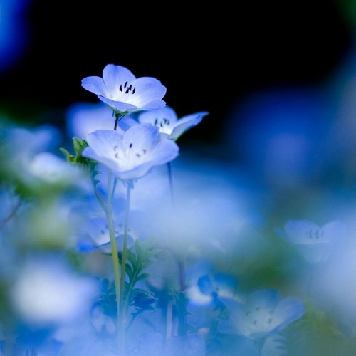 Beautiful Blue Forget-Me-Not maua, ua