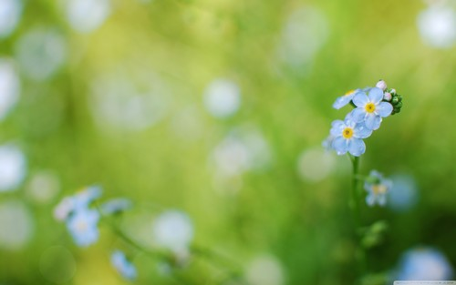 Beautiful Blue Forget-Me-Not bloem
