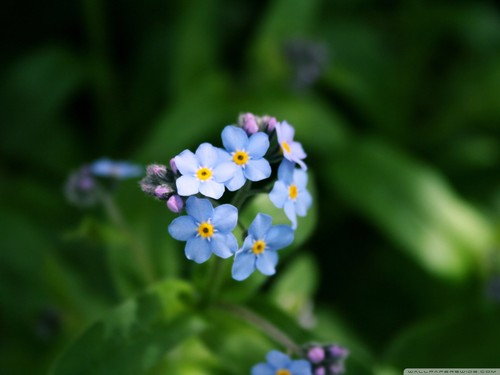 Beautiful Blue Forget-Me-Not پھول