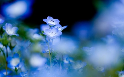 Beautiful Blue Forget-Me-Not blume