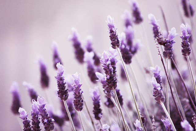 Beautiful Lavender Flowers Photo 34658219 Fanpop