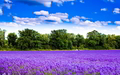 Beautiful Lavender - flowers photo