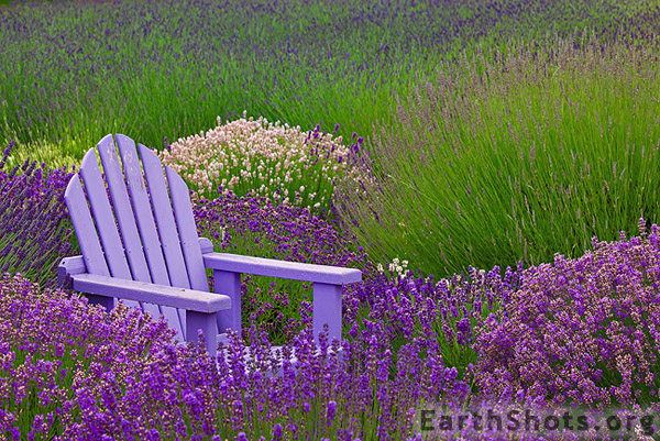 Beautiful Purple Lavender Flowers Flowers Beautiful Lavender