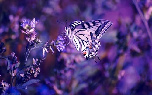 Beautiful Purple rama-rama, taman rama-rama