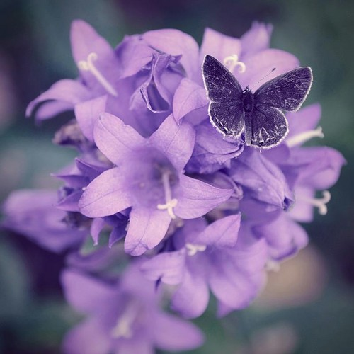 Beautiful Purple तितली
