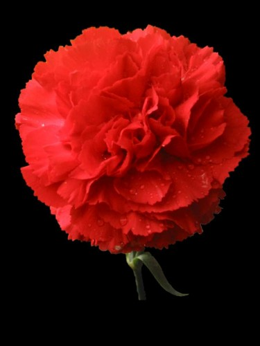 Beautiful Red Carnation
