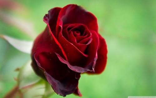 Beautiful Red rosas
