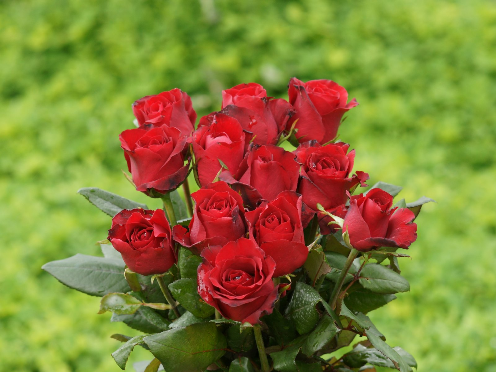 Roses images beautiful red roses hd wallpaper and background photos roses images beautiful red roses hd wallpaper and background photos izmirmasajfo