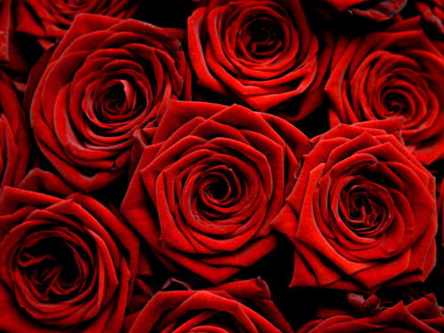 Beautiful Red rosas