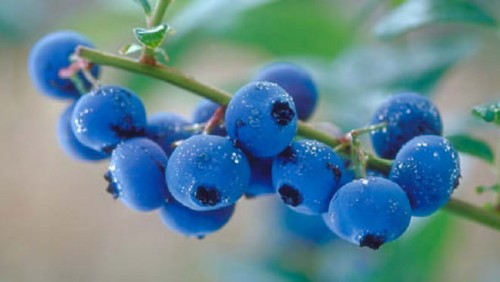 Blue blueberry