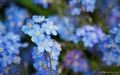 Blue Forget-Me-Not - flowers wallpaper