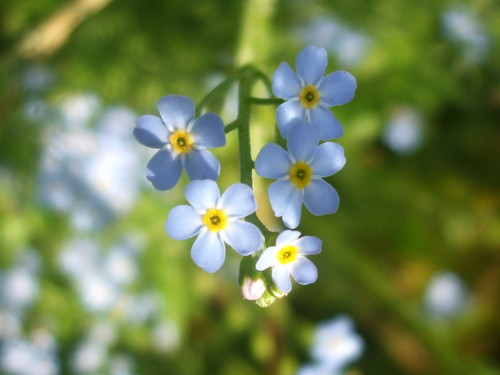 Blue Forget-Me-Not