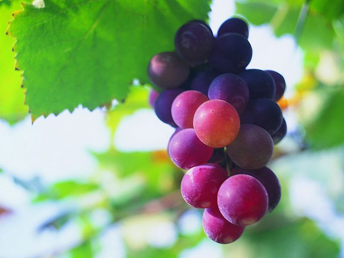 Dark Purple Grapes - Colors Photo (34691310) - Fanpop