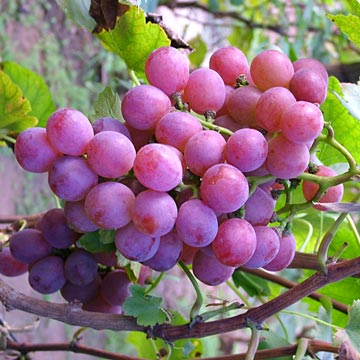 Dark Purple Grapes