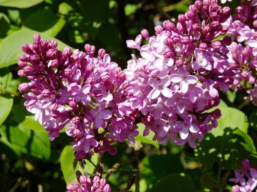 lila flor