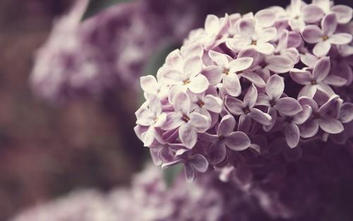 lilla fiore