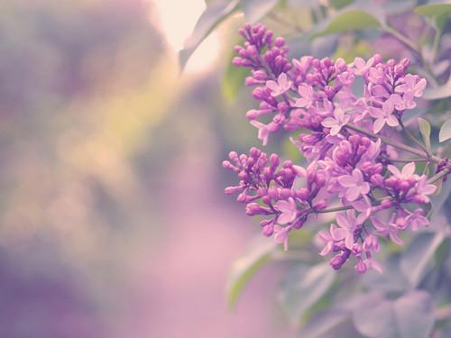 ungu, lilac bunga