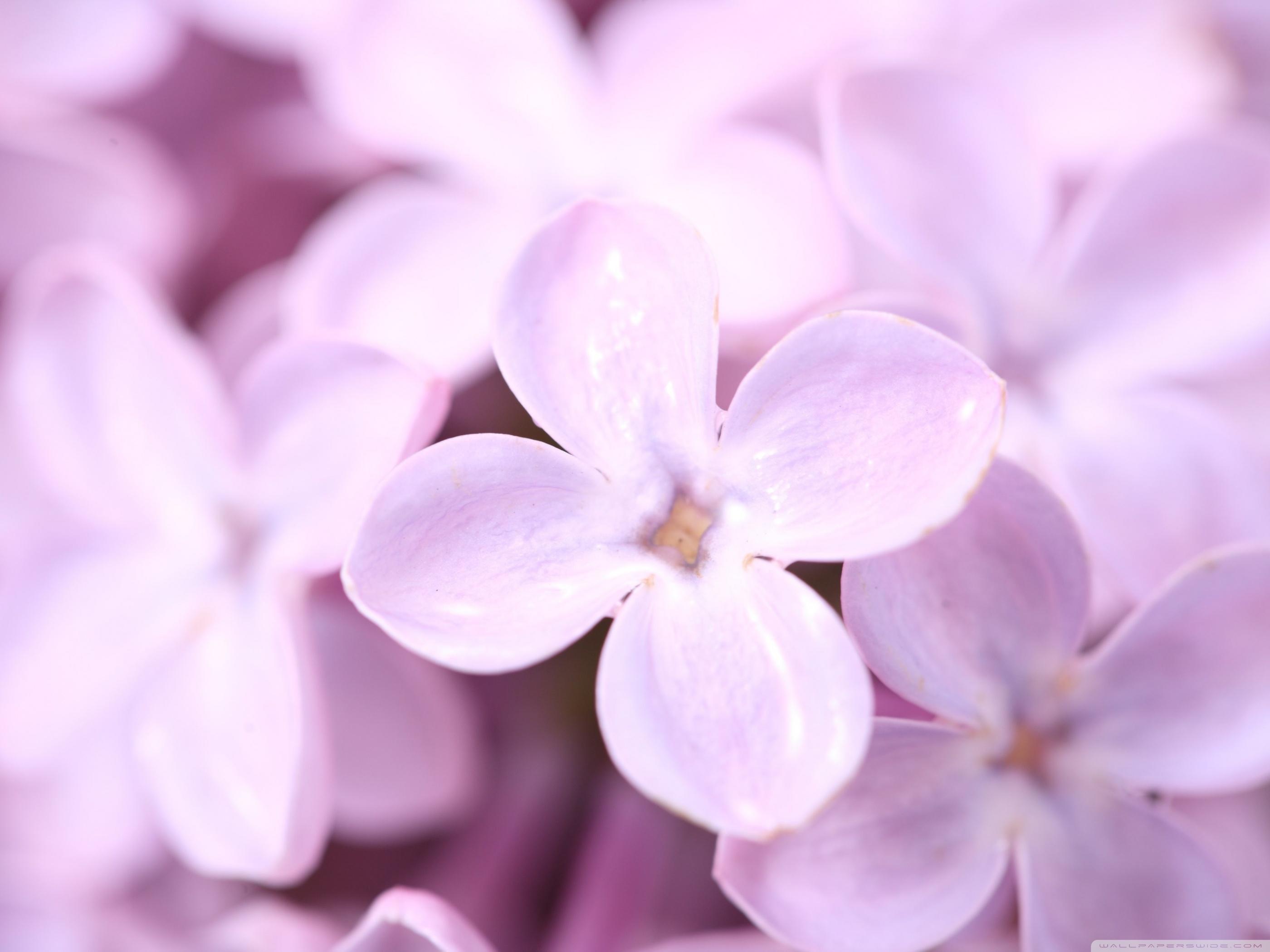 Lilac Flower Colors Fanpop
