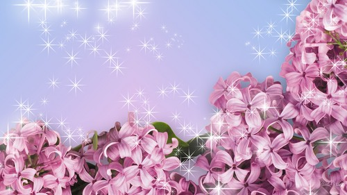 lila, flieder blume