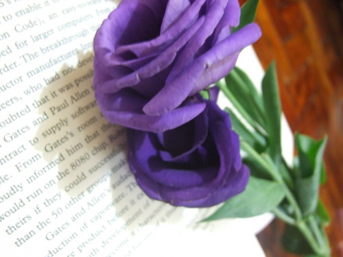 Magnificent Purple 장미