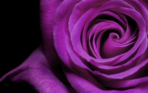 Magnificent Purple rosas